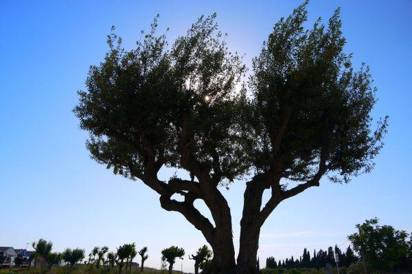 fon rotonda olivera