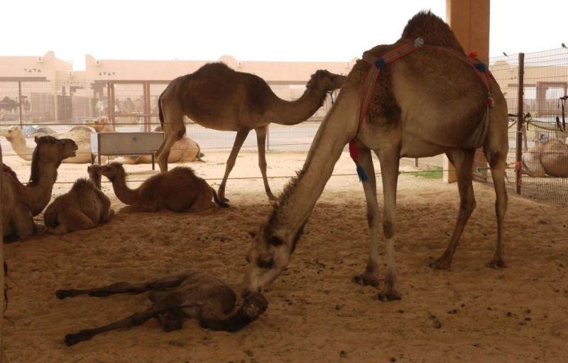 cammellet nascut